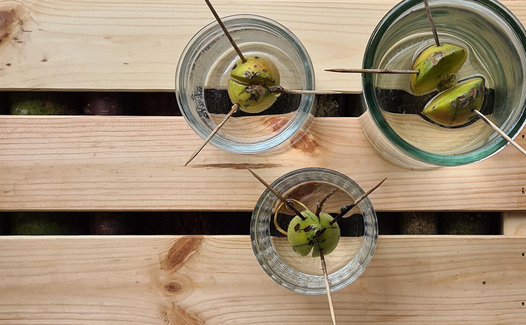 Sådan planter og dyrker du din egen avocado-plante